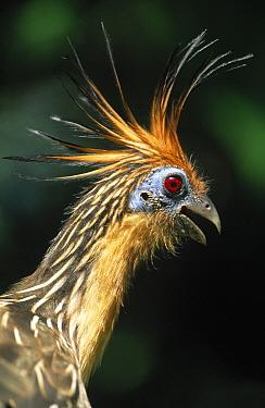 Hoatzin (Opisthocomus hoazin) portrait, side view, head and shoulders, Guyana  -  Flip de Nooyer
