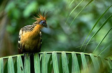 Hoatzin (Opisthocomus hoazin) perching on branch, Guyana  -  Flip de Nooyer