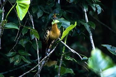 Hoatzin (Opisthocomus hoazin) eating Mokomoko plant, Guyana  -  Flip de Nooyer