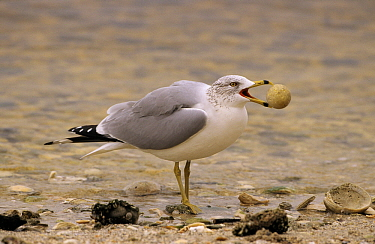 Ring-billed Gull (Larus delawarensis) foraging trash on beach, North America  -  Flip de Nooyer