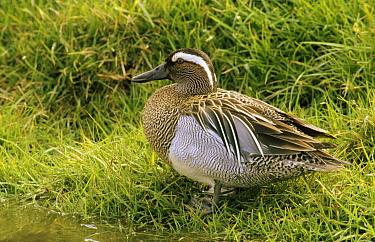 Garganey (Anas querquedula) male standing in grass, Europe  -  Do van Dijk/ NiS
