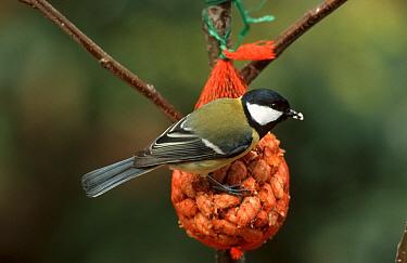 Great Tit (Parus major) feeding on bag of peanuts, Europe  -  Do van Dijk/ NiS