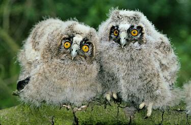 Long-eared Owl (Asio otus) two owlets, Europe  -  Flip de Nooyer