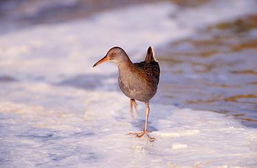 Water Rail (Rallus aquaticus) walking on ice, Europe  -  Flip de Nooyer