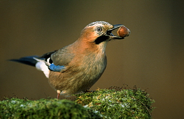 Eurasian Jay (Garrulus glandarius) with nut in its mouth, Europe  -  Duncan Usher
