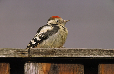 Middle Spotted Woodpecker (Dendrocopos medius) sitting on a fence, Europe  -  Duncan Usher