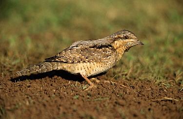 Eurasian Wryneck (Jynx torquilla) profile, Europe  -  Duncan Usher