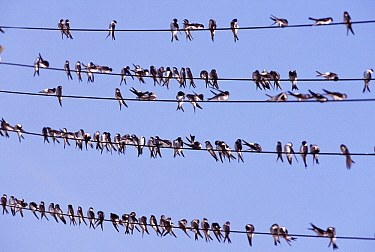 Common House Martin (Delichon urbicum) large group on cables, Europe  -  Duncan Usher