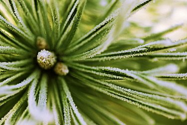 Scotch Pine (Pinus sylvestris) close up, Europe  -  Jan Vermeer