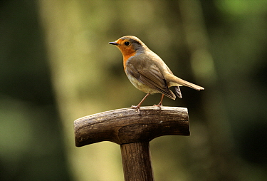 European Robin (Erithacus rubecula) on spade handle, Europe  -  Jan Vermeer