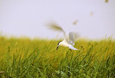 Sandwich Tern (Thalasseus sandvicensis) hovering, Europe  -  Jan Vermeer