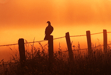 Common Wood-pigeon (Columba palumbus) on fence in morning mist, Europe  -  Jan Vermeer