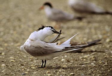 Sandwich Tern (Thalasseus sandvicensis) preening feathers, Europe  -  Jan Vermeer