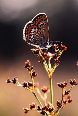 Silver-studded Blue (Plebejus argus) butterfly on plant, Europe  -  Jan Vermeer