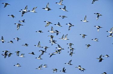 Northern Pintail (Anas acuta) flock flying, Europe  -  Winfried Wisniewski