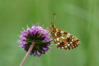 Small Pearl-bordered Fritillary (Boloria selene) butterfly feeding on flower, Europe  -  Jan Vermeer