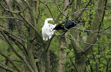 Domestic Cat (Felis catus) and Carrion Crow (Corvus corone) in tree, Europe  -  Flip de Nooyer
