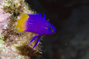 Royal Gramma (Gramma loreto) basslet underwater portrait, tropical Indo-Pacific species  -  Hans Leijnse/ NiS
