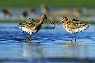 Black-tailed Godwit (Limosa limosa) pair courting, Europe  -  Wil Meinderts/ Buiten-beeld