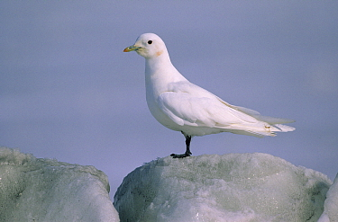 Ivory Gull (Pagophila eburnea) portrait on iceberg, Siberia  -  Chris Schenk/ Buiten-beeld