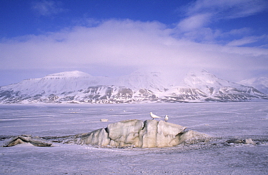 Ivory Gull (Pagophila eburnea) pair camouflaged on iceberg in snowy landscape, Siberia  -  Chris Schenk/ Buiten-beeld