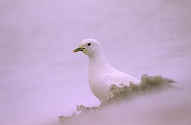 Ivory Gull (Pagophila eburnea) camouflaged against snow, Siberia  -  Chris Schenk/ Buiten-beeld