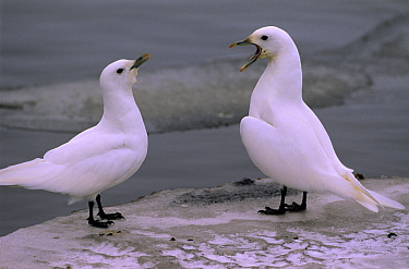 Ivory Gull (Pagophila eburnea) pair communicating, Siberia  -  Chris Schenk/ Buiten-beeld