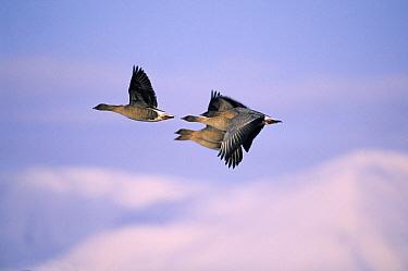 Pink-footed Goose (Anser brachyrhynchus) four flying, Europe  -  Chris Schenk/ Buiten-beeld