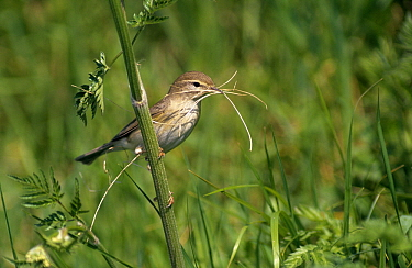 Willow Warbler (Phylloscopus trochilus) with nesting material, Europe  -  Flip de Nooyer