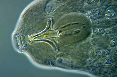 Water Bear (Macrobiotus richtersi) microscopic image, animal is less than one mm in length, can enter cryptobiosis to withstand temperature and moisture extremes, worldwide distribution  -  Jan van Arkel/ NiS