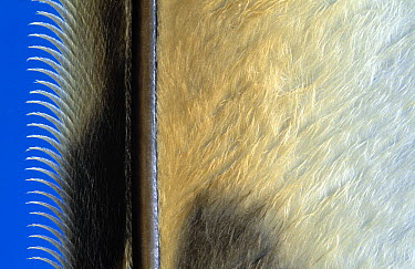 Close up of flight feather showing the shaft with the attached vane, Europe  -  Jan van Arkel/ NiS