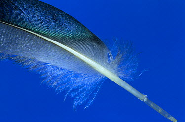 Mallard (Anas platyrhynchos) feather showing detail of shaft with attached vane, Europe  -  Jan van Arkel/ NiS