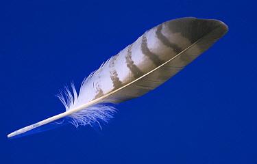 Diagnostic shot of a flight feather  -  Jan van Arkel/ NiS