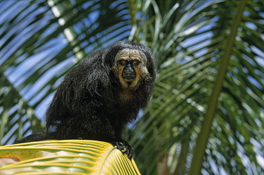 White-faced Saki (Pithecia pithecia) sitting in a palm tree, Guyana  -  Wil Meinderts/ Buiten-beeld