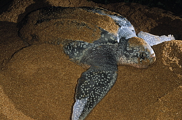Leatherback Sea Turtle (Dermochelys coriacea) female laying eggs on the beach, Shell Beach, Guyana  -  Wil Meinderts/ Buiten-beeld