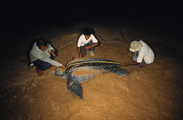 Leatherback Sea Turtle (Dermochelys coriacea) female is measured for scientific research while coming ashore to lay eggs, Shell Beach, Guyana  -  Wil Meinderts/ Buiten-beeld