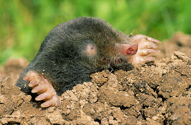 European Mole (Talpa europaea) emerging from mound, Europe  -  Duncan Usher