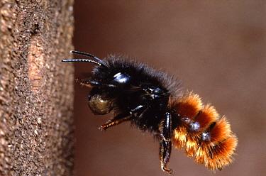 Mason Bee (Osmia aurulenta) returning to nest carrying mud, Europe  -  Jef Meul/ NIS
