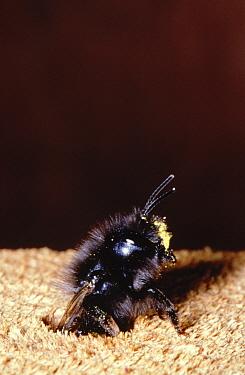 Mason Bee (Osmia aurulenta) leaving nesting hole, Europe  -  Jef Meul/ NIS