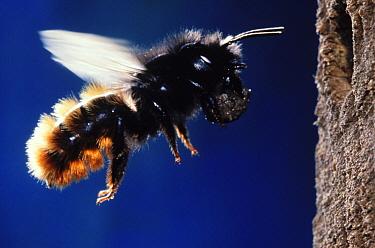 Mason Bee (Osmia aurulenta) carrying mud back to its nest, Europe  -  Jef Meul/ NIS