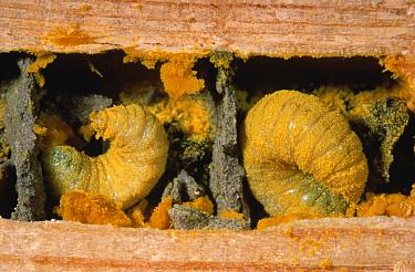 Mason Bee (Osmia aurulenta) larvae in nest surrounded by pollen, Europe  -  Jef Meul/ NIS