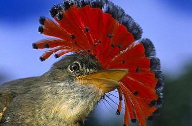 Royal Flycatcher (Onychorhynchus coronatus) male displaying colorful head crest, Iwokrama Rainforest Reserve, Guyana  -  Wil Meinderts/ Buiten-beeld