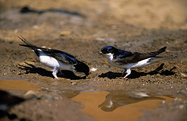 Common House Martin (Delichon urbicum) pair collecting mud at waterhole to use in nest construction, Europe  -  Duncan Usher