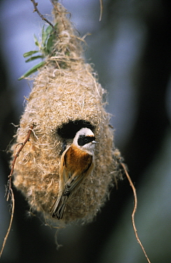 Eurasian Penduline-Tit (Remiz pendulinus) hanging on nest, Europe  -  Duncan Usher