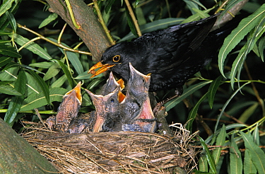 Eurasian Blackbird (Turdus merula) parent feeding chicks in nest, Europe  -  Duncan Usher