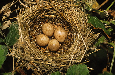 Blackcap (Sylvia atricapilla) nest with four eggs, Europe  -  Duncan Usher