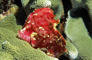 Leaf Scorpionfish (Taenianotus triacanthus) on coral, Indonesia  -  Peter Verhoog/ Buiten-beeld