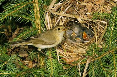 Willow Warbler (Phylloscopus trochilus) parent feeding begging chicks in nest, Europe  -  Duncan Usher