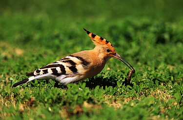 Eurasian Hoopoe (Upupa epops) feeding on worm, Europe  -  Duncan Usher