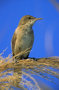 Great Reed-Warbler (Acrocephalus arundinaceus) perching on reed, Europe  -  Duncan Usher